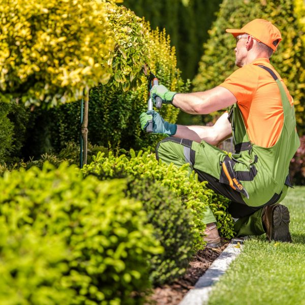 Caucasian Garden Worker in His 30s Trimming Plants Using Large Scissors.